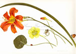 Ashfield Composition:  Daylily, Nasturtium, Ladybug Beetle, 2011