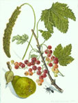 Millet, Red Currants and Seckle Pear
